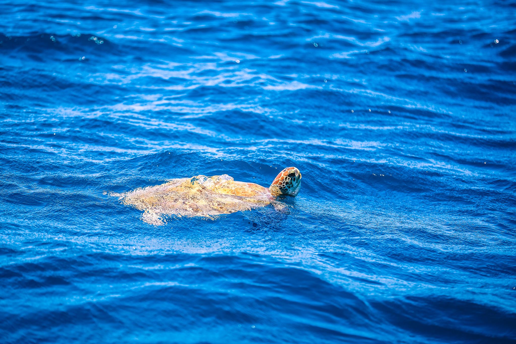 Spännande möten med Karibiens havssköldpaddor